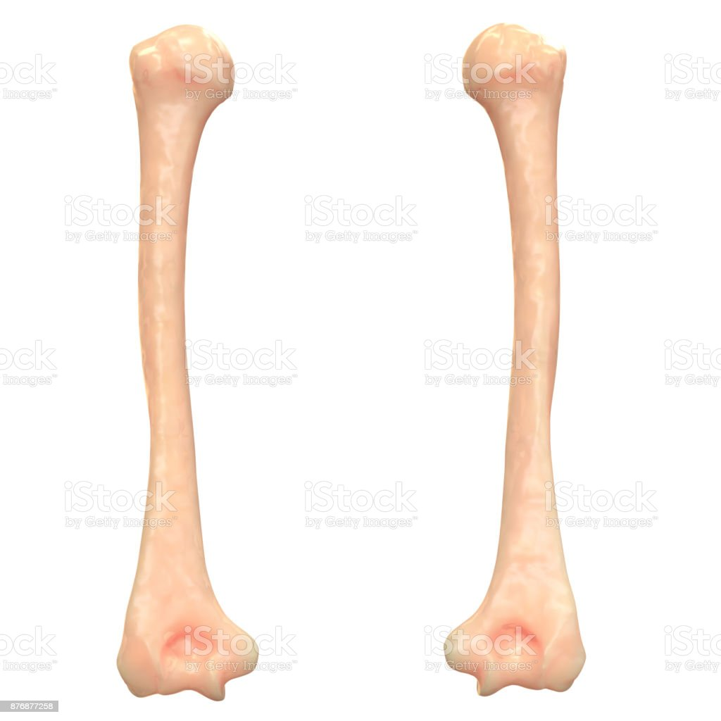 Human Skeleton System Humerus Bones Anatomy Stock Photo More