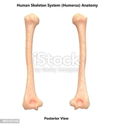 Human Skeleton System Humerus Bones Anatomy Stock Photo & More ...