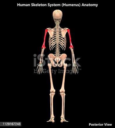 136191596istockphoto Human Skeleton System Humerus Posterior View Anatomy 1129167243