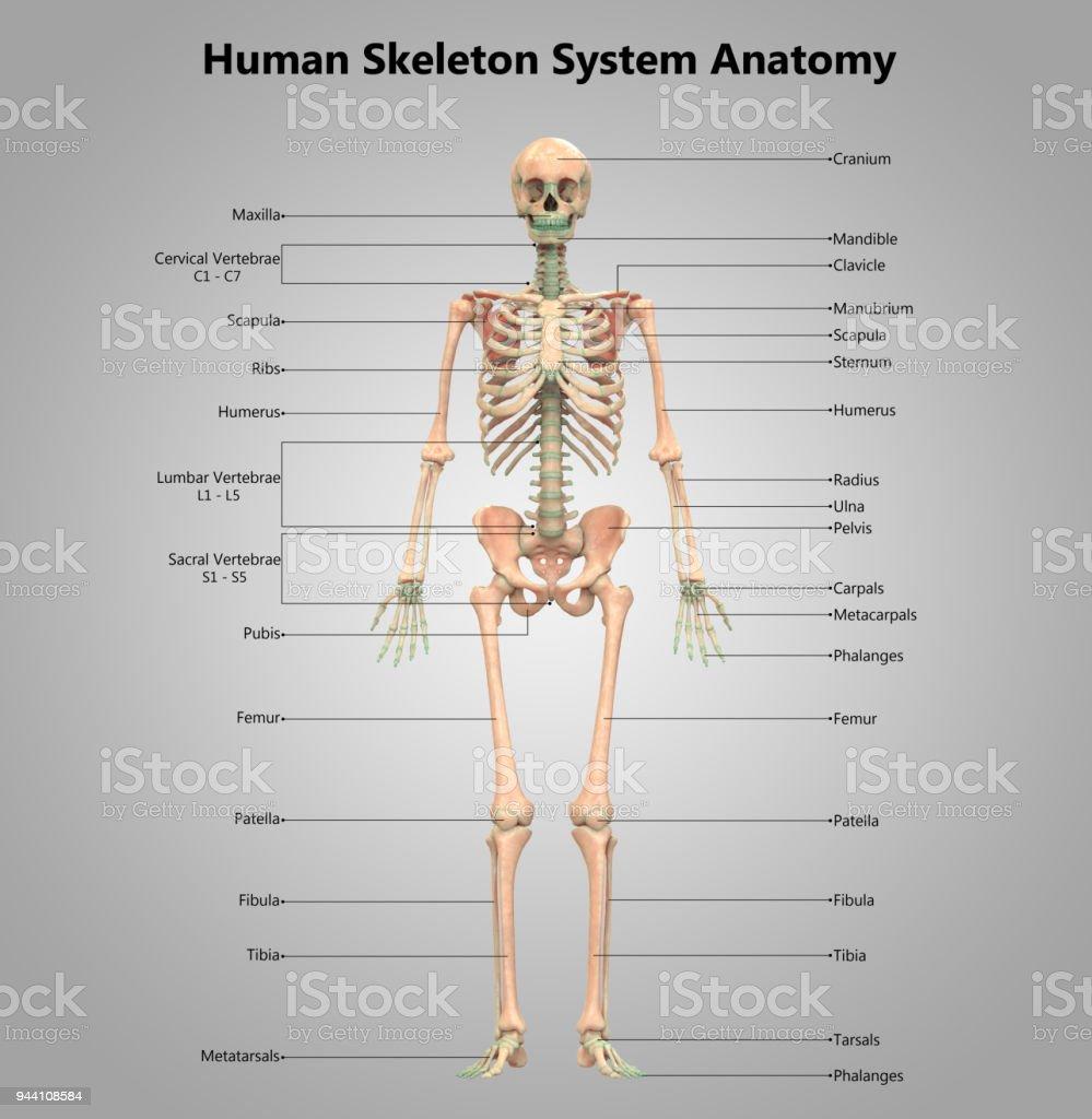 Fantastisch Das Menschliche Skelett System Galerie - Menschliche ...