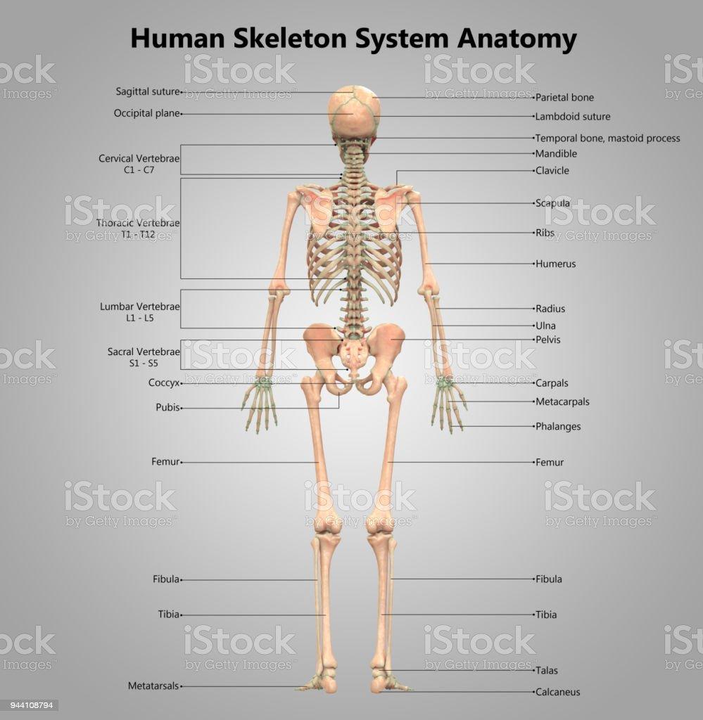 Atemberaubend Menschliche Anatomie Und Physiologie Für Dummies Pdf ...