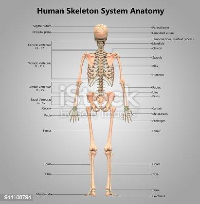 Menschliches Skelett System Label Design Anatomie Stock-Fotografie ...