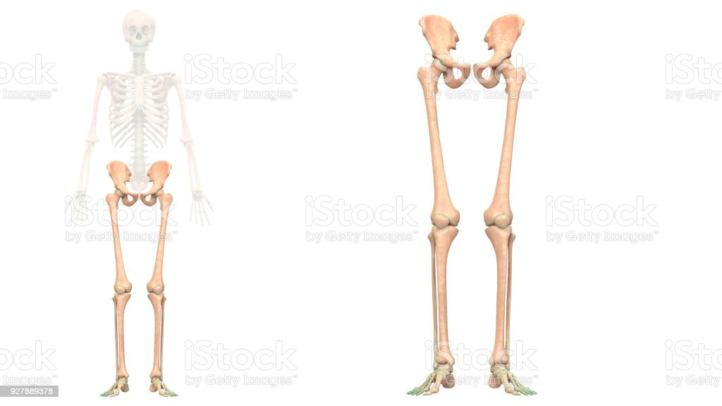 Human Skeleton System Lower Limbs Anatomy Anterior View Stock Photo ...