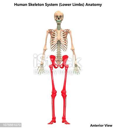 istock Human Skeleton System Lower Limbs Anatomy 1075551070
