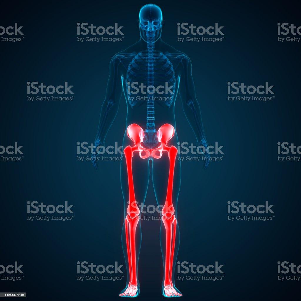 3D Illustration of Human Skeleton System Lower Limbs Anatomy