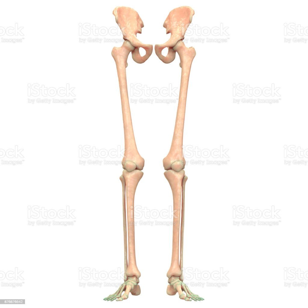 Human Skeleton System Lower Limbs Anatomy Stock Photo More