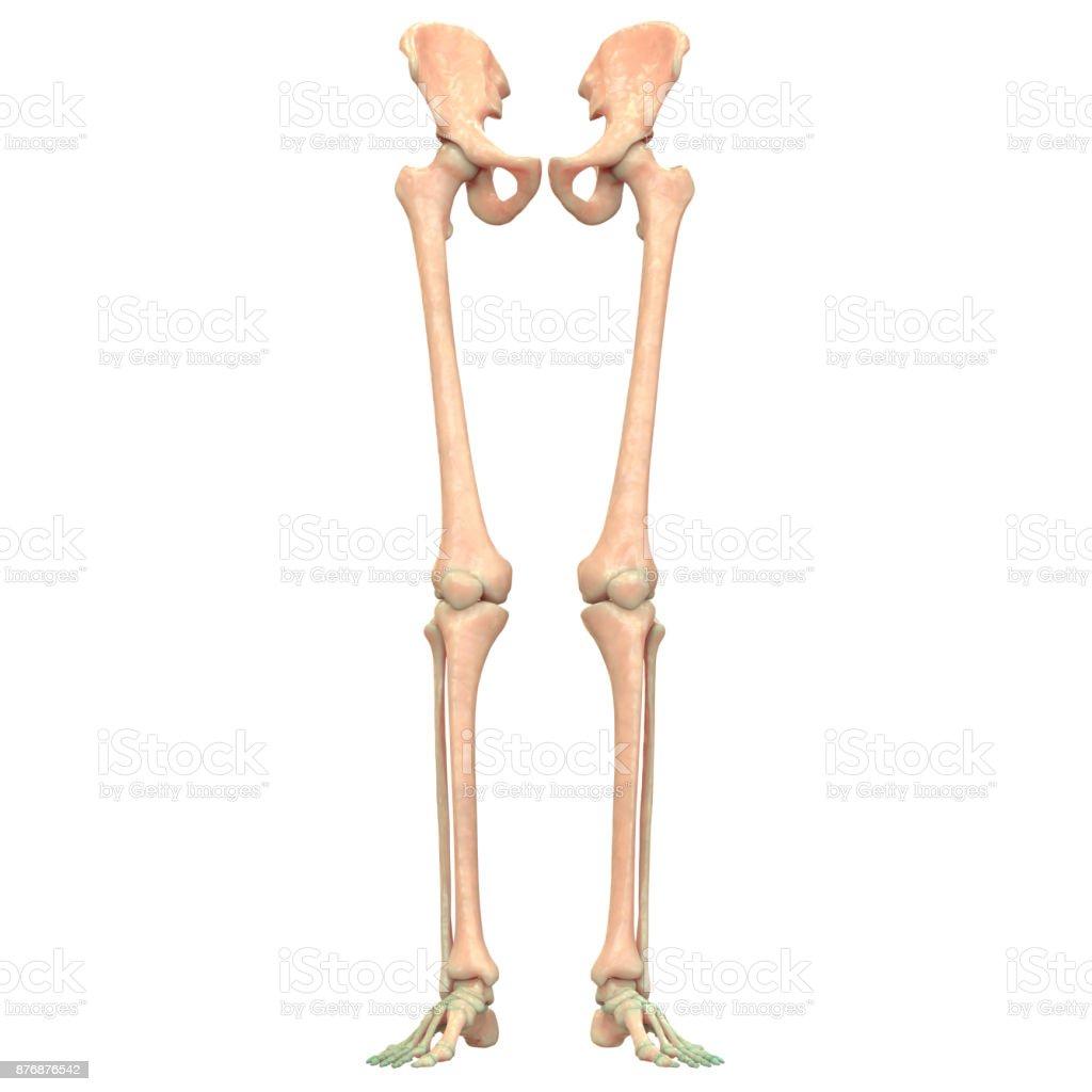 Fotografía de Esqueleto De Sistema Inferiores Extremidades Anatomía ...