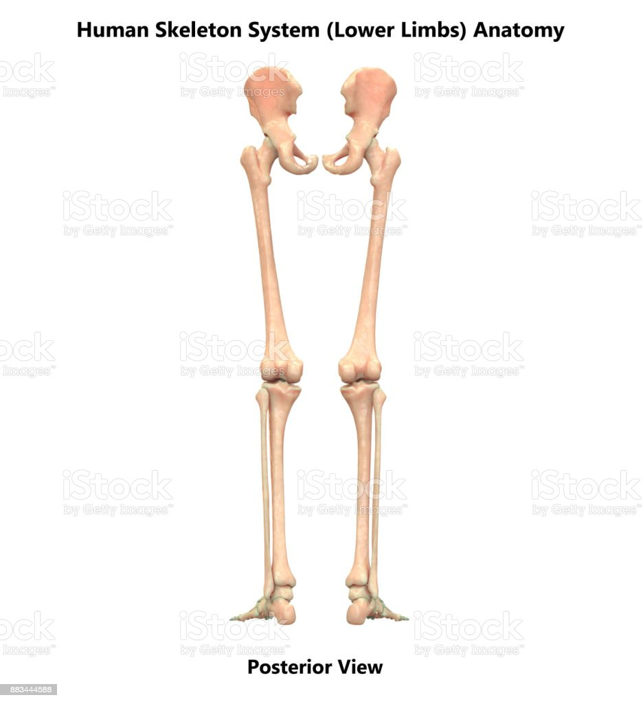 Human Skeleton System Lower Limbs Anatomy Stock Photo & More ...