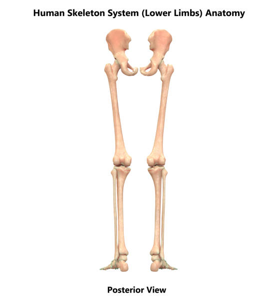 Royalty Free Silhouette Of Elbow Anatomy Pictures Images And Stock