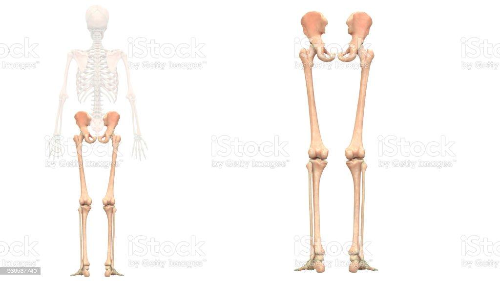 Menschliches Skelett System Untere Gliedmaßen Anatomie Stock ...