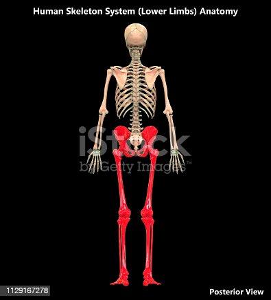 136191596istockphoto Human Skeleton System Lower Limbs Posterior View Anatomy 1129167278