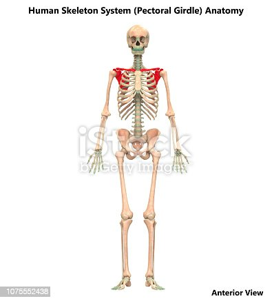 istock Human Skeleton System Pectoral Girdle Anatomy 1075552438