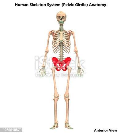 istock Human Skeleton System Pelvic Girdle Anatomy 1075548872