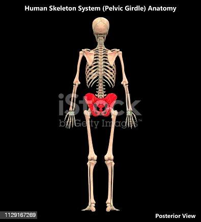 136191596istockphoto Human Skeleton System Pelvic Girdle Posterior View Anatomy 1129167269