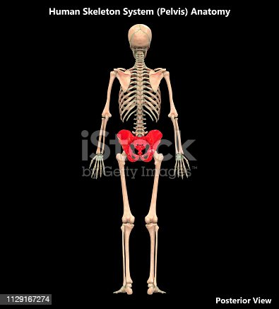 136191596istockphoto Human Skeleton System Pelvis Posterior View Anatomy 1129167274