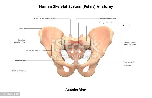 Human Skeleton System Pelvis With Labels Anatomy Stock Photo & More ...