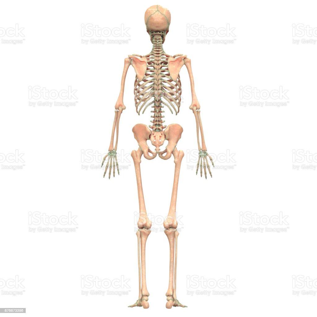 Fotografía de Sistema De Esqueleto Humano y más banco de imágenes de ...