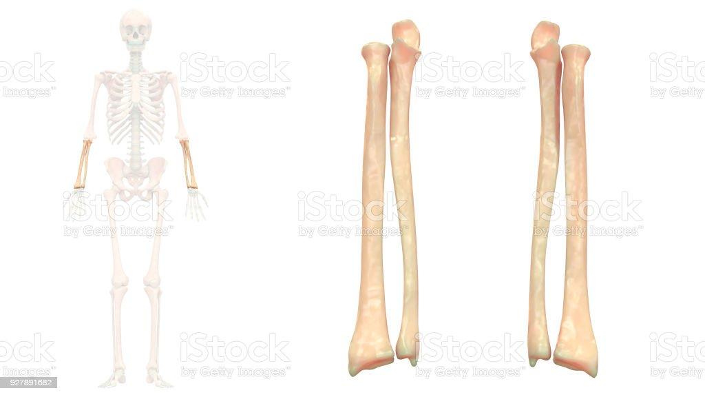 Human Skeleton System Radius and Ulna Anatomy Anterior View stock photo