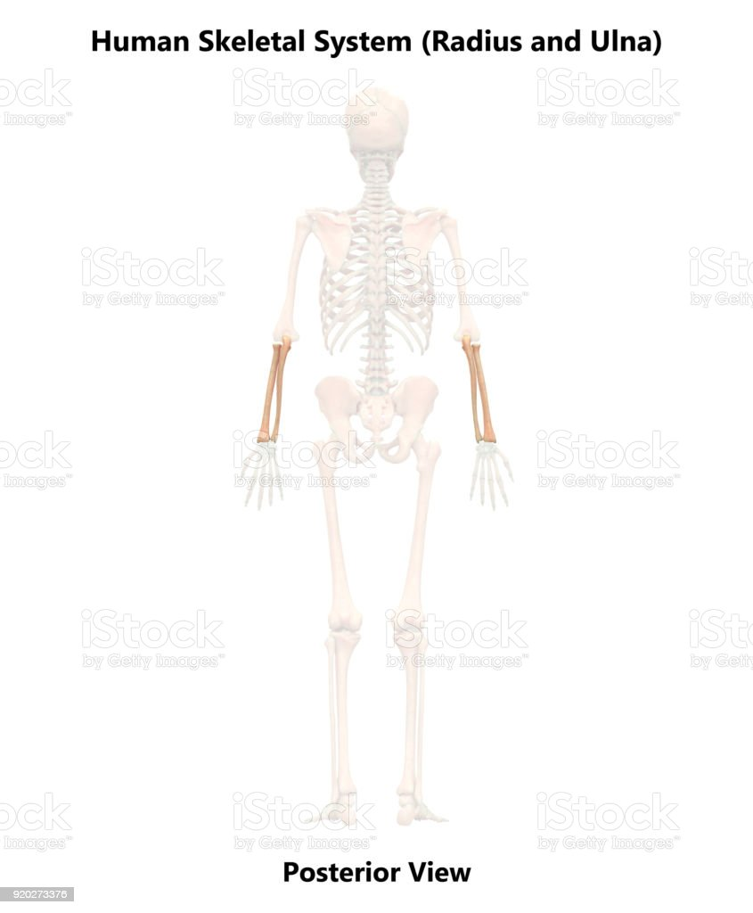 Human Skeleton System Radius And Ulna Anatomy Stock Photo & More ...