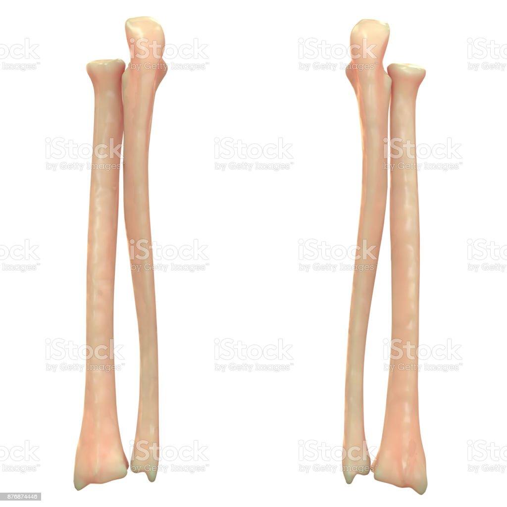 Menschliches Skelett System Radius Und Ulna Knochen Anatomie Stock ...