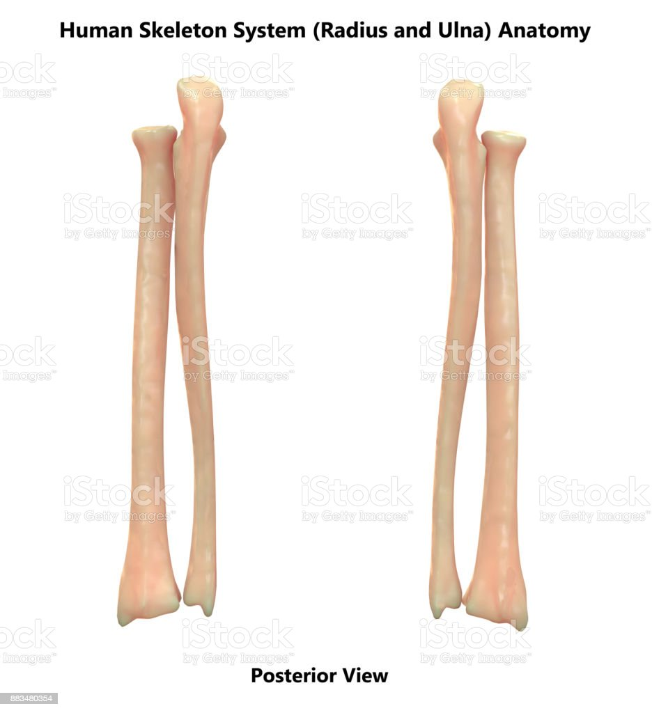 Human Skeleton System Radius And Ulna Bones Anatomy Stock Photo ...