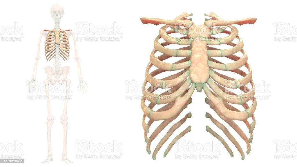 Human Skeleton System Rib Cage Anatomy Anterior View Stock Photo