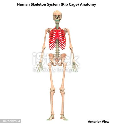 istock Human Skeleton System Rib Cage Anatomy 1075552504