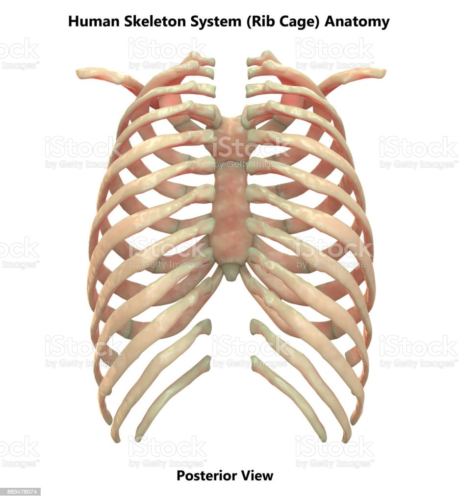 Human Skeleton System Rib Cage Anatomy Stock Photo More Pictures