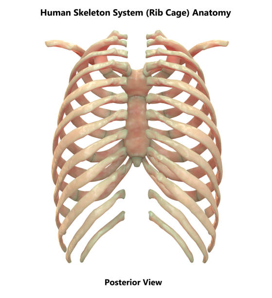 Royalty Free Rib Cage Pictures Images And Stock Photos Istock