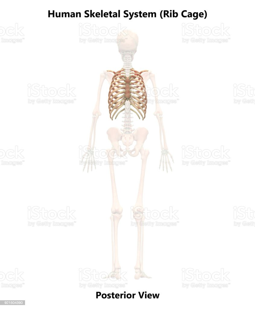 Human Skeleton System Rib Cage Anatomy Stock Photo & More Pictures ...