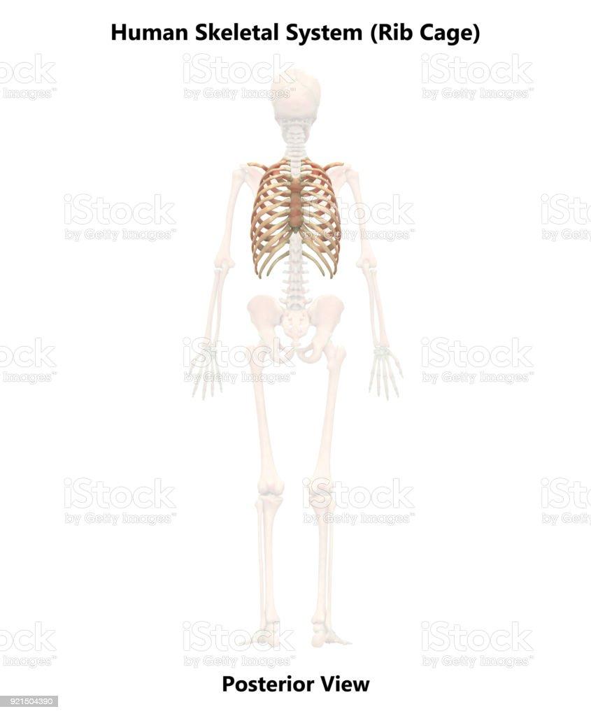 Fotografía de Anatomía De La Caja Torácica De Sistema Esqueleto ...