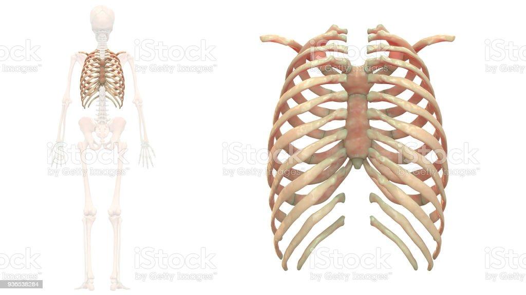 Menschliches Skelett System Brustkorb Anatomie Stock-Fotografie und ...