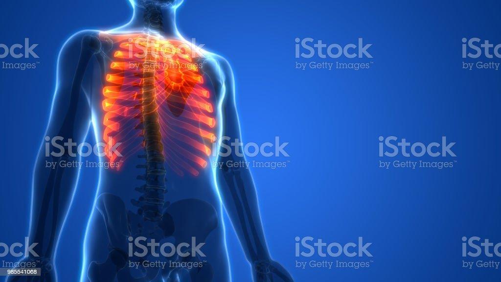 Fotografía de Sistema Esquelético Humano Caja Torácica Anatomía y ...