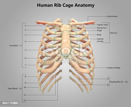 Menschliches Skelett System Brustkorb Label Design Anatomie Stock ...
