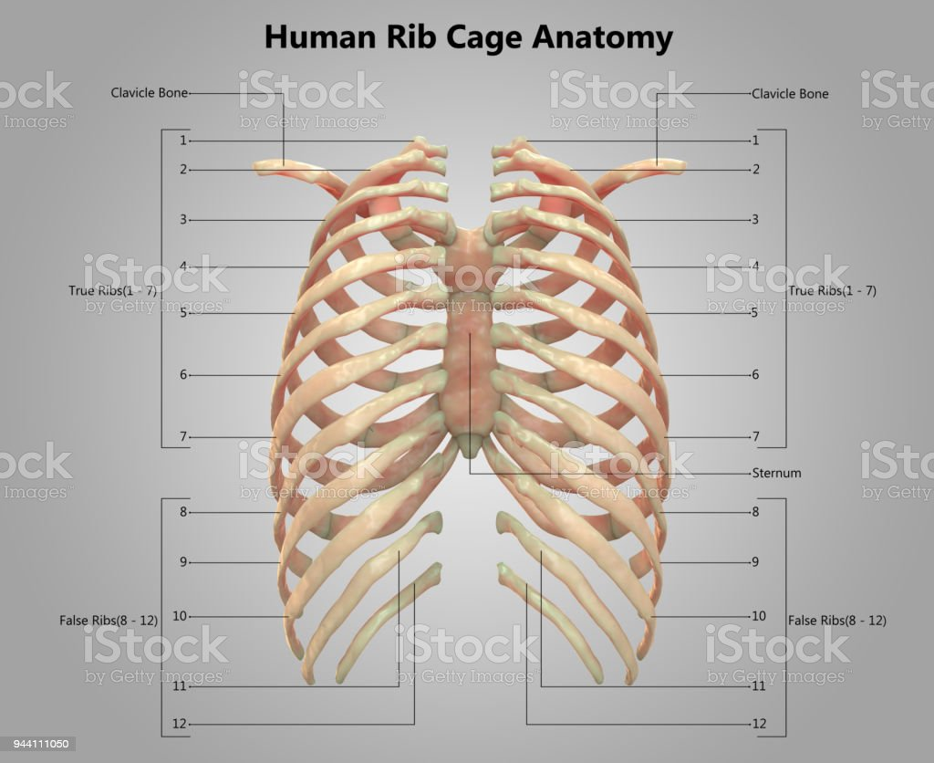 Human Skeleton Diagram Back Ribs - Wiring Diagram •