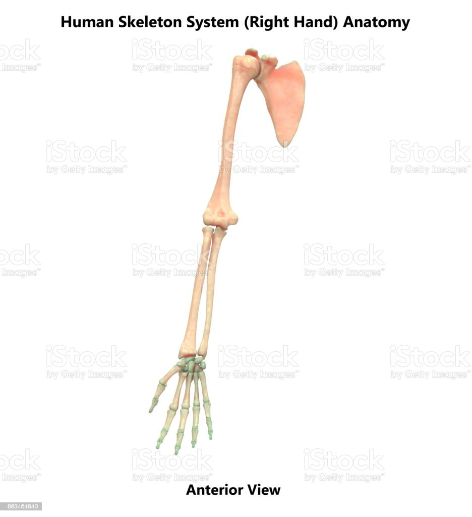 Human Skeleton System Right Hand Bones Anatomy Stock Photo More