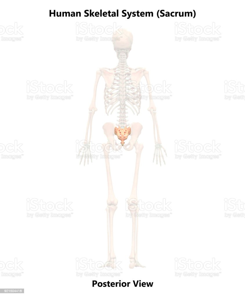 Human Skeleton System Sacrum Anatomy Stock Photo & More Pictures of ...