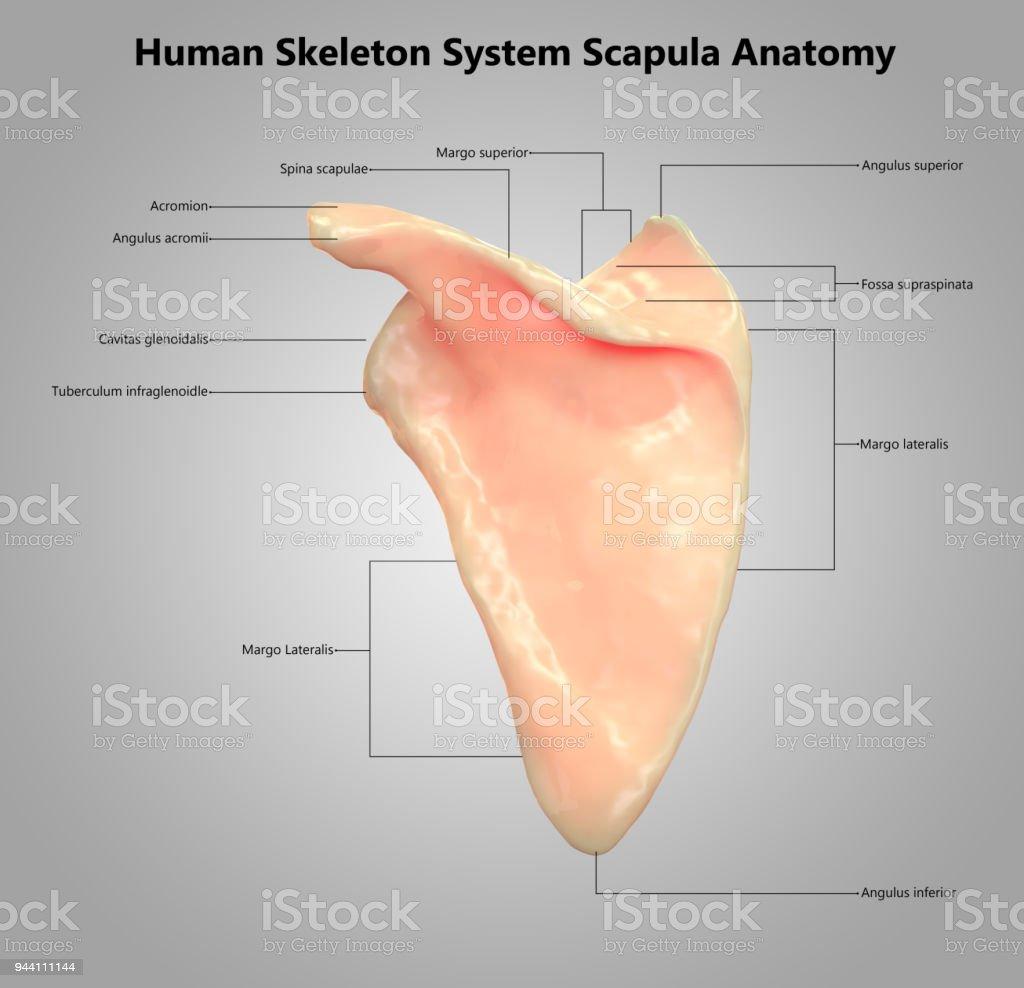 File Human Arm Bones Diagram Heb Svg Manual Guide