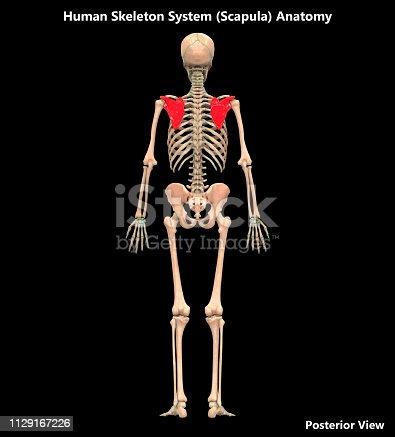 136191596istockphoto Human Skeleton System Scapula Posterior View Anatomy 1129167226