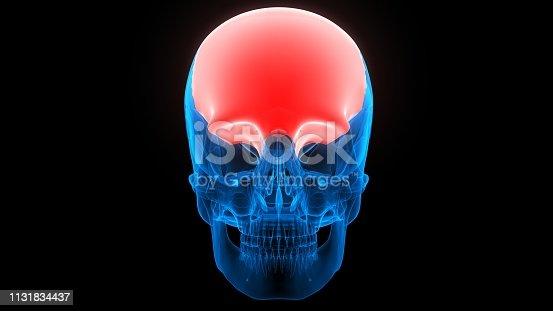 136191596istockphoto Human Skeleton System Skull Anatomy 1131834437