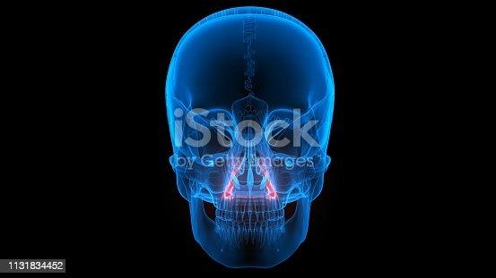 136191596istockphoto Human Skeleton System Skull Anatomy 1131834452