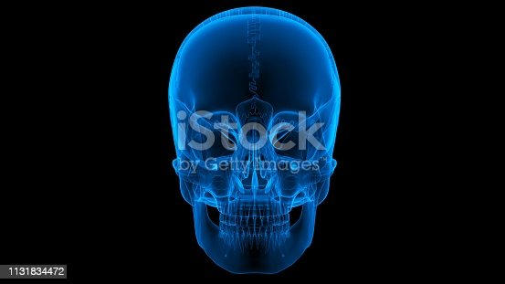 136191596istockphoto Human Skeleton System Skull Anatomy 1131834472