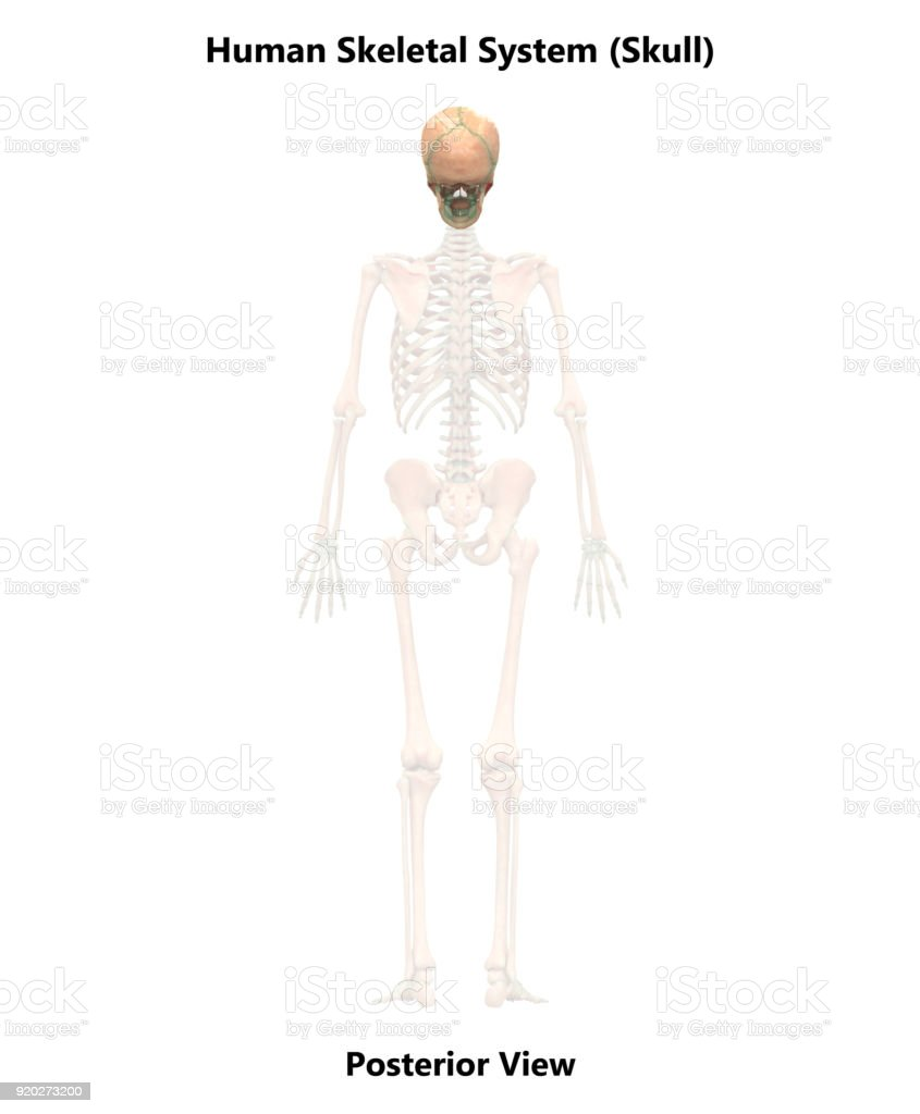 Human Skeleton System Skull Anatomy Stock Photo More Pictures Of