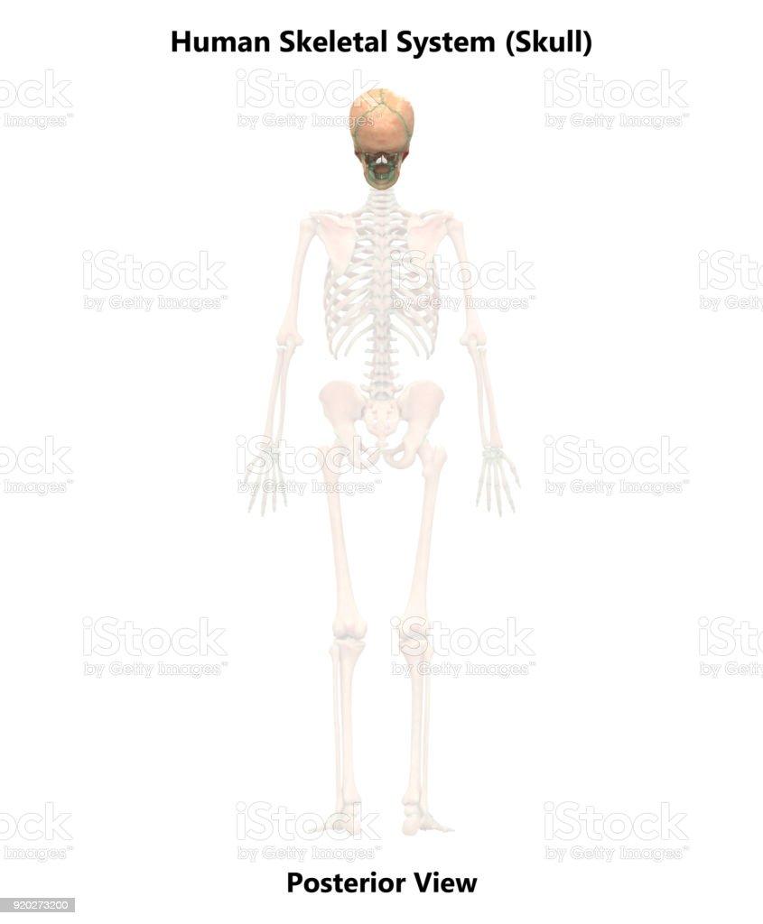 Anatomía Del Cráneo De Sistema Esqueleto Humano - Stock Foto e ...