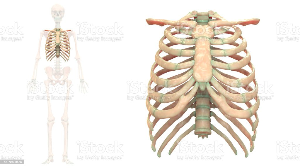 Human Skeleton System Thoracic Skeleton Anatomy Anterior View Stock ...