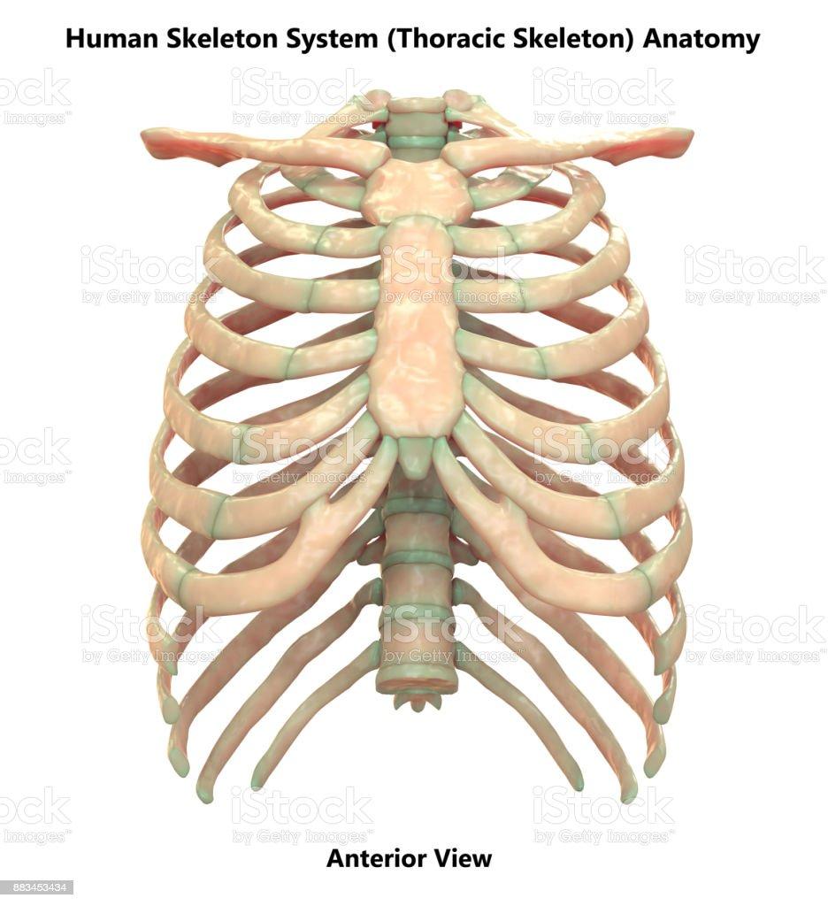 Human Skeleton System Thoracic Skeleton Anatomy Stock Photo More