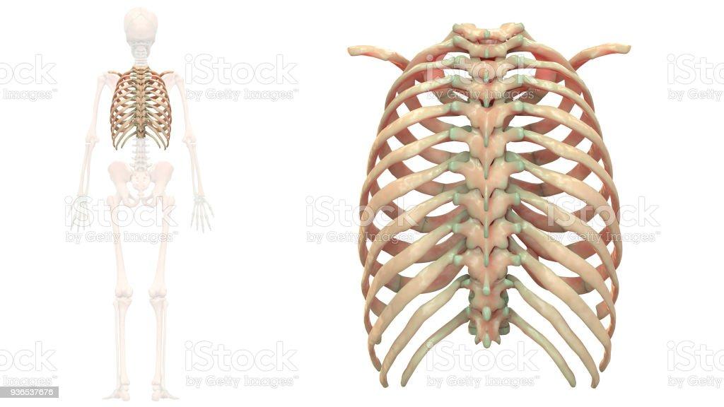 Schön Bilder Skelett System Bilder - Menschliche Anatomie Bilder ...