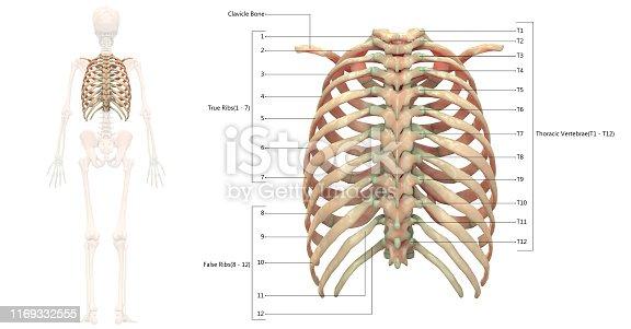 136191596istockphoto Human Skeleton System Thoracic Skeleton Anatomy Posterior View 1169332555