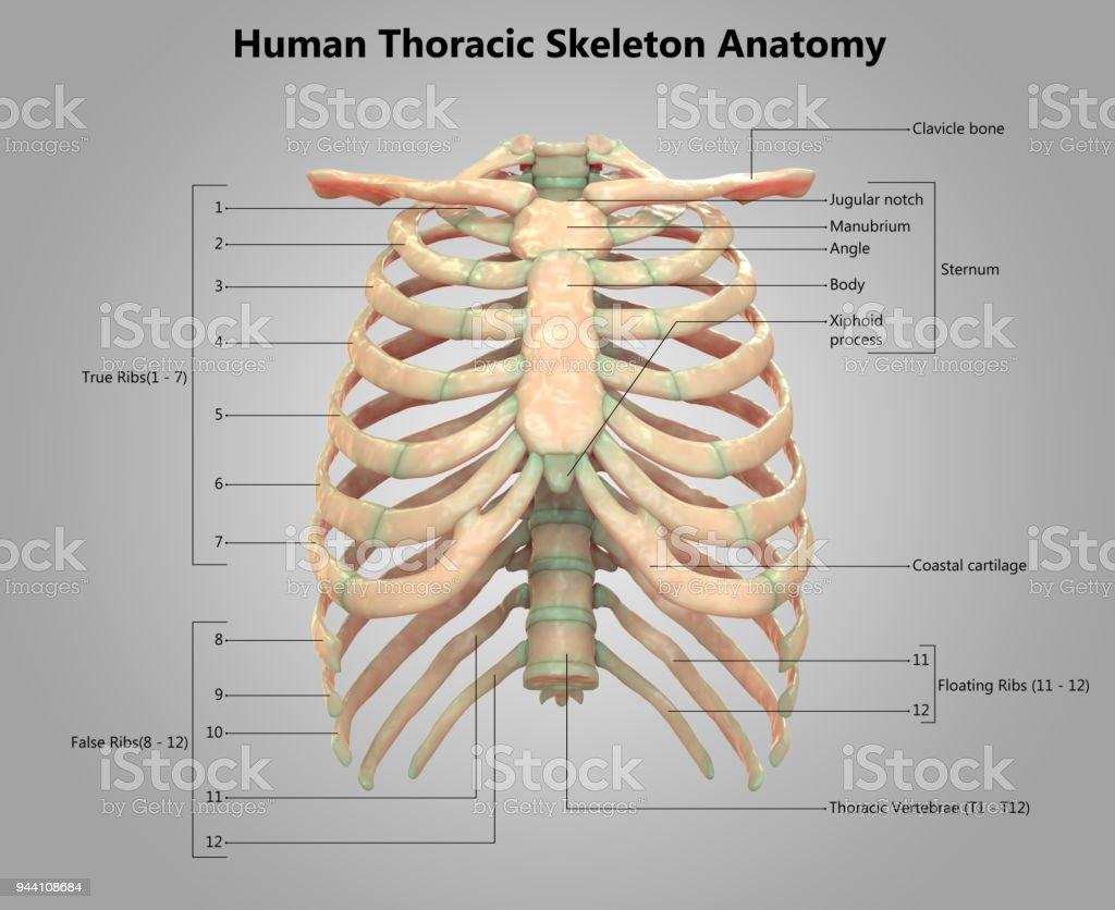 Fotografía de Sistema Esqueleto Humano Esqueleto Torácico De La ...