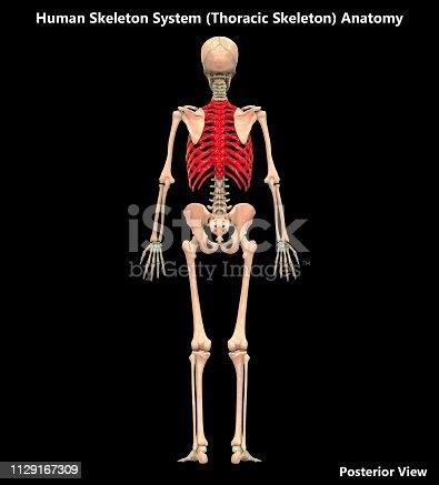 136191596istockphoto Human Skeleton System Thoracic Skeleton Posterior View Anatomy 1129167309
